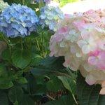 歩いてて見つけました。白とピンクのグラデーションが可愛い感じ(∩´͈ ᐜ `͈∩) 奥の青も綺麗です✨ #ハイポネックス園芸部 #ハイポネックスアジサイ部 #ハッピーハイドランジアボックス