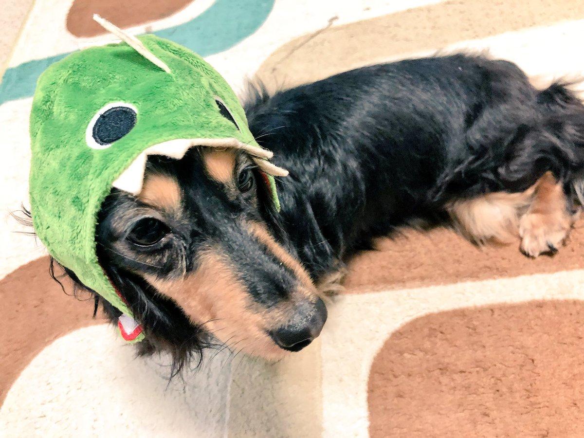 test ツイッターメディア - #ダイソー の小型犬・猫用の被り物! ちょっと大きい(耳まで入っちゃう)けどめっちゃ可愛いです??  愛犬が小型犬って方、ぜひ被せて写真を載せてください?? いろんな可愛い子みたい!!!  #犬好きさんと繋がりたい https://t.co/G4KHOjkPKe