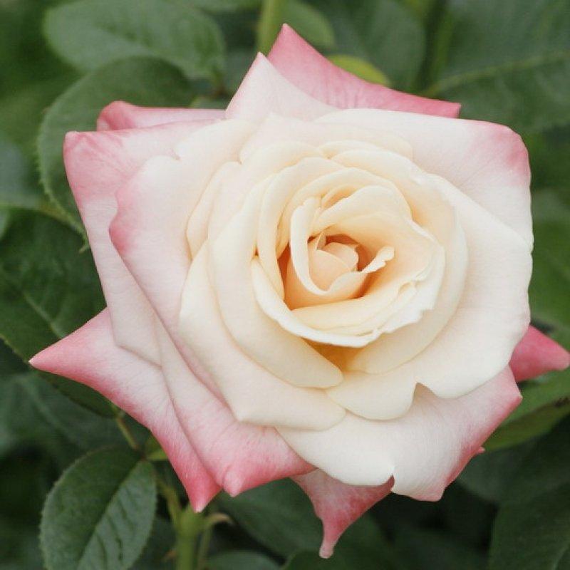 Картинки красные розы на белом фоне