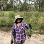 Yucca filamentosa in the Asparagaceae family has a long history of medicinal use by native people of the Americas. We're most interested in the roots, which were used by the Catawba as a decoction for skin disease & the Cherokee as a salve for sores. #ExpeditionIchauway #QuaveLab