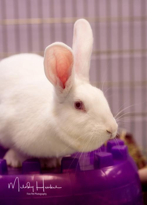 Ida is a curious, young New Zealand from #Brockton, MA.  http://www. petfinder.com/petdetail/4180 6399 &nbsp; … <br>http://pic.twitter.com/Y2COoD9NYn