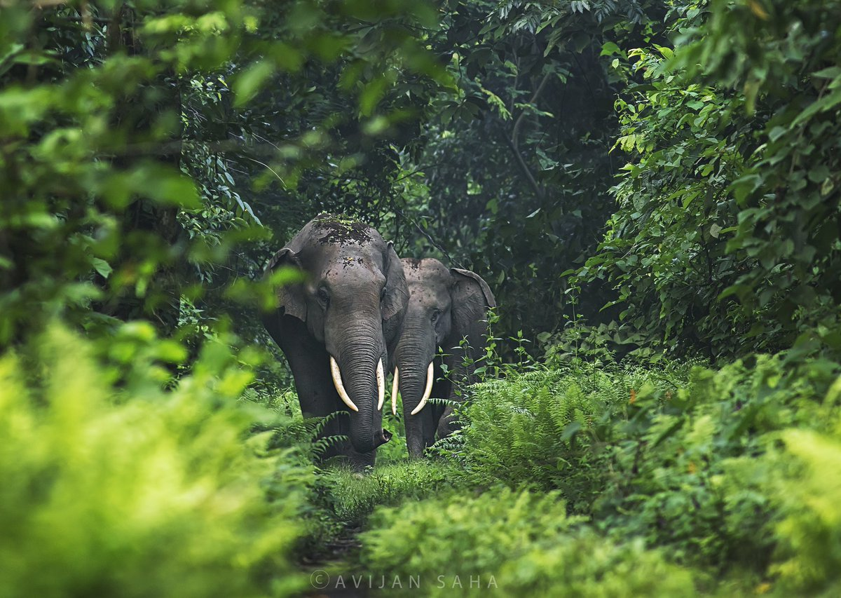 The 'Maljurian' (all male herd) booked the forest patrolling road during survey at South Raidak, Buxa TR East. @SanctuaryAsia @NatureIn_Focus @WildscreenEx @wildscreen_org @NatGeo_Asia @NatGeo @wti_org_india @elephantfamily