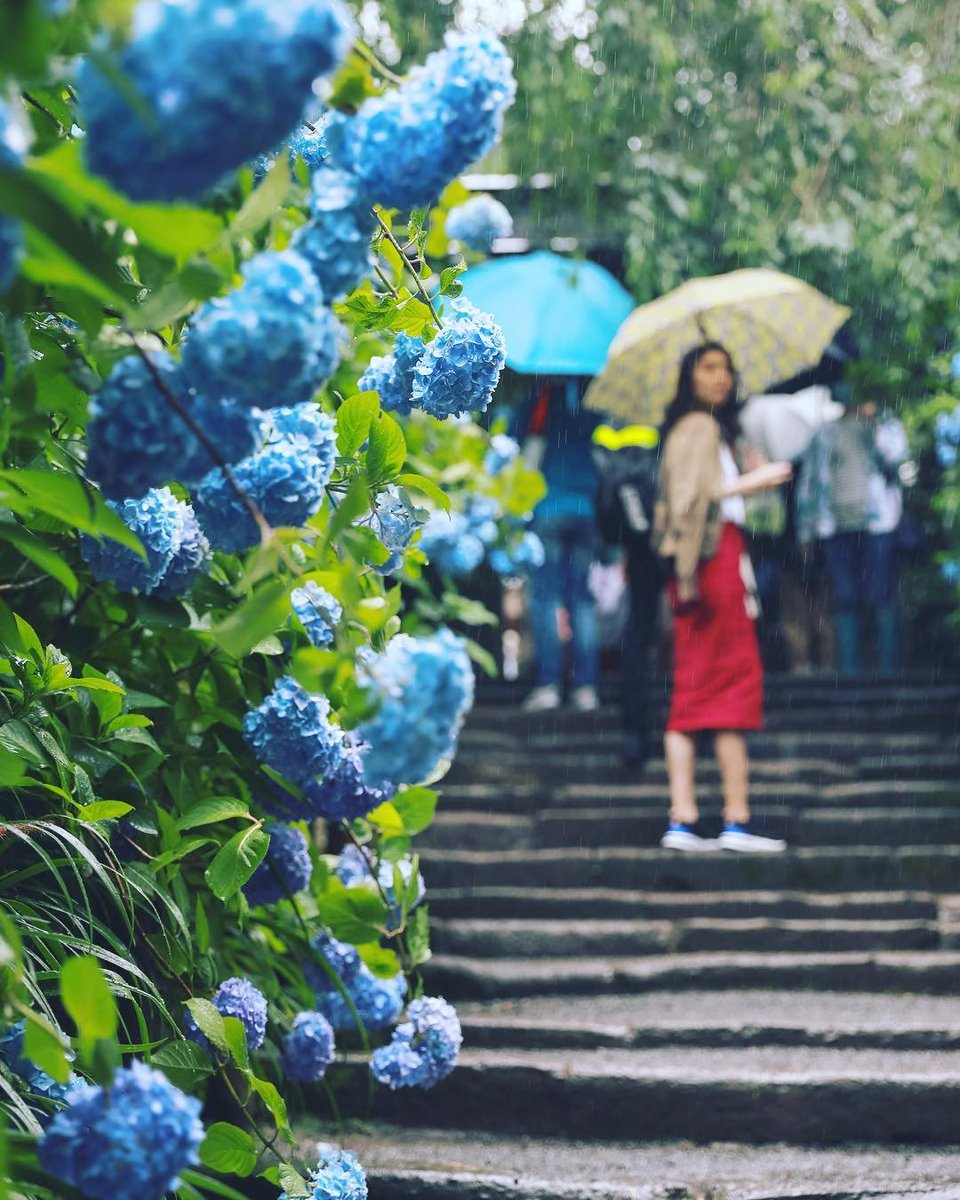 "Reposting @yinlei ... ""#明月院 #アジサイ寺 #雨 #鎌倉 #北鎌倉 #アジサイ #紫陽花 #meigetsuin #temple #rain #flowers #kamakura #绣球花"" https://t.co/VmoiLl8jsz 1"