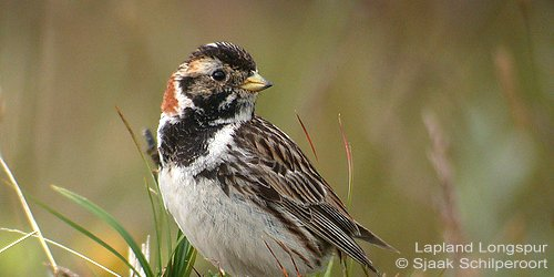 During the long days of summer, birds nesting north of the Arctic Circle – like this #LaplandLongspur – can forage in daylight for nearly 24 hours. #ornithology bit.ly/2lc34u9