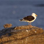 Image for the Tweet beginning: Great Black Backed Gull and