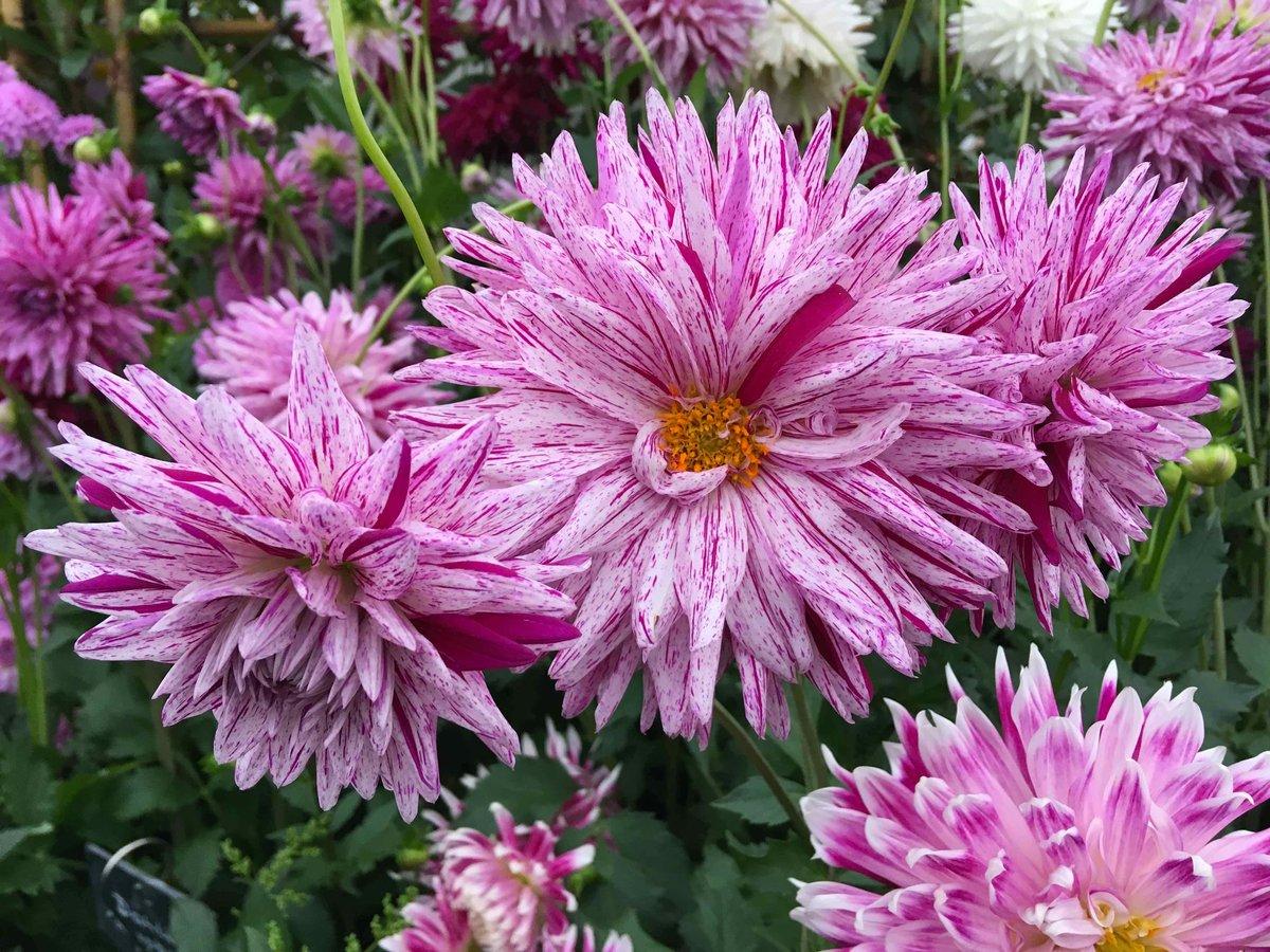 Dahlia hashtag on twitter ripple micks peppermint dahlia no2s name eludes me all new favs cornishflowers flowers plants gardenersworldlivepicitterkddxfhvpoj izmirmasajfo