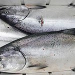 Image for the Tweet beginning: #Salmon season opens with limit