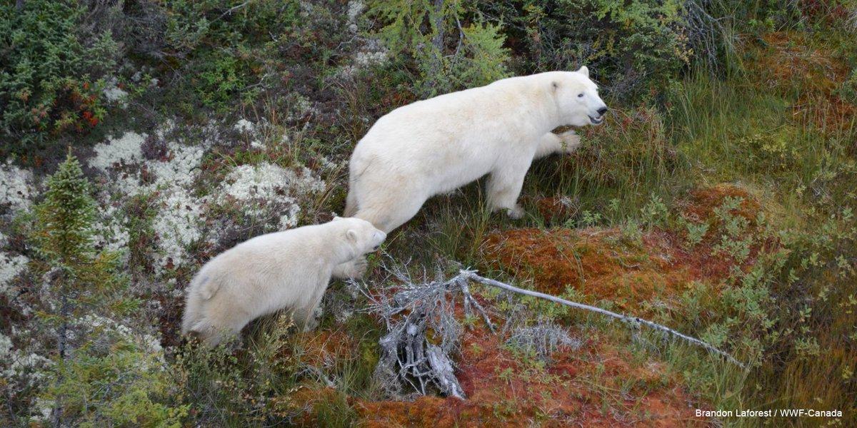 Eisbären population