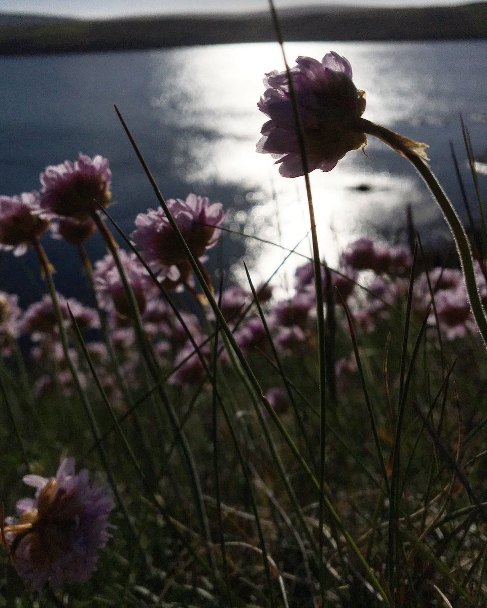 Ruth Brownlee On Twitter Sea Pinks Aplenty On The Shetland Banks