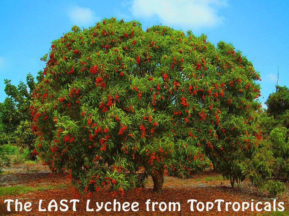 Are Gone Https Toptropicals Cgi Bin Find In Name Only 1 Litchi Chinensis Lychee Rareplants Hiness Beautiful