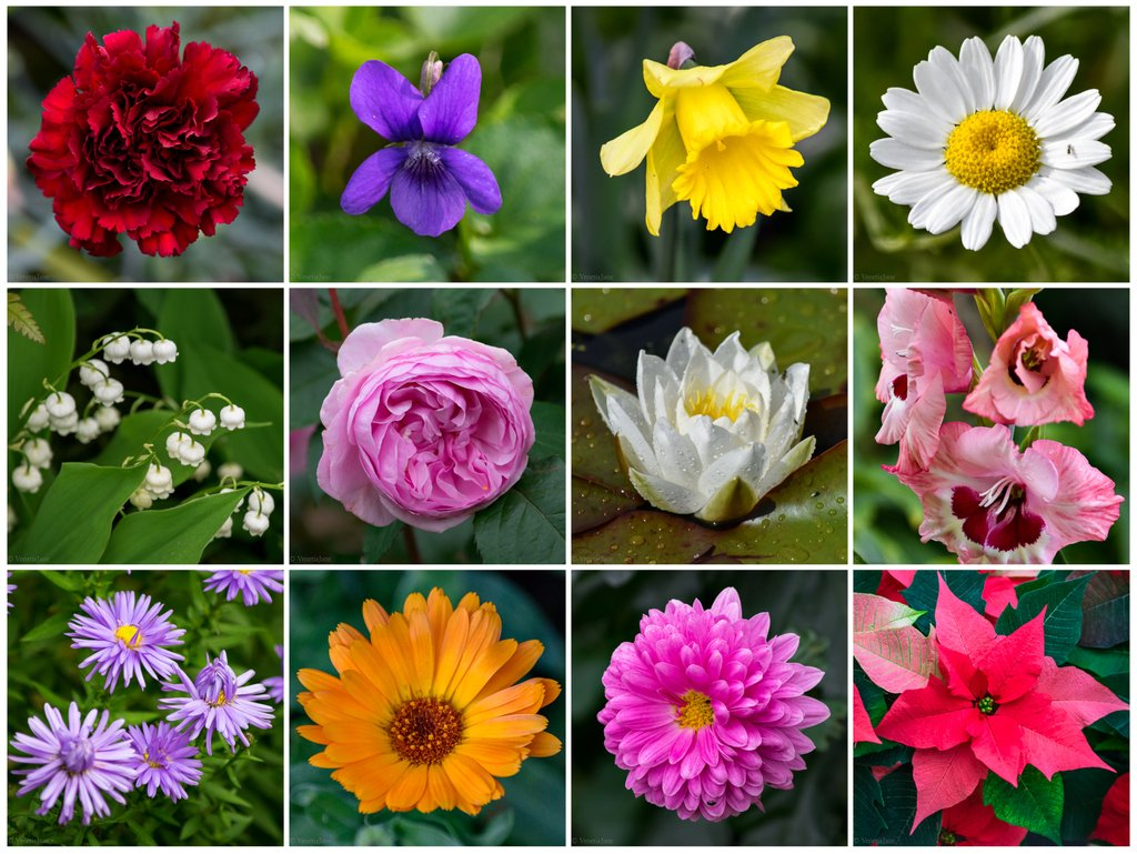 Venetiajanes garden on twitter the romans venerated flowers as each month is assigned one or two birthday flowers shown here left to right starting with the carnation for january folklorethursday izmirmasajfo