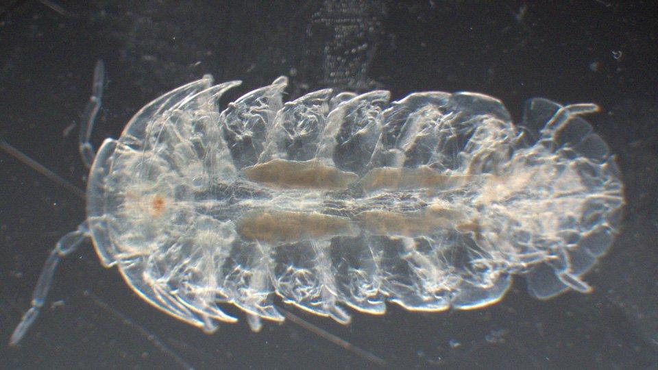 その辺のオカダンゴムシを透明化するとこんな感じ。消化管や精巣が外から観察できるようになります。