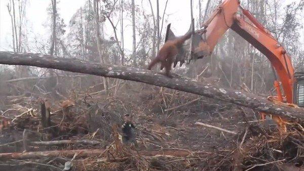 Video: un orangután pelea contra una excavadora que destruye su hábitat https://t.co/Z6uWDW4zEJ