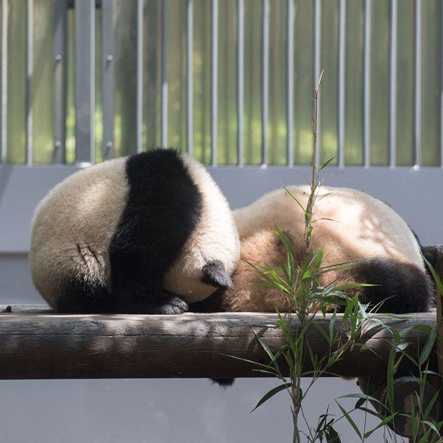 もち・のりまき 2018.06.07 #上野動物園 #パンダ #シャンシャン #uenozoo #giantpanda #panda #xiangxiang