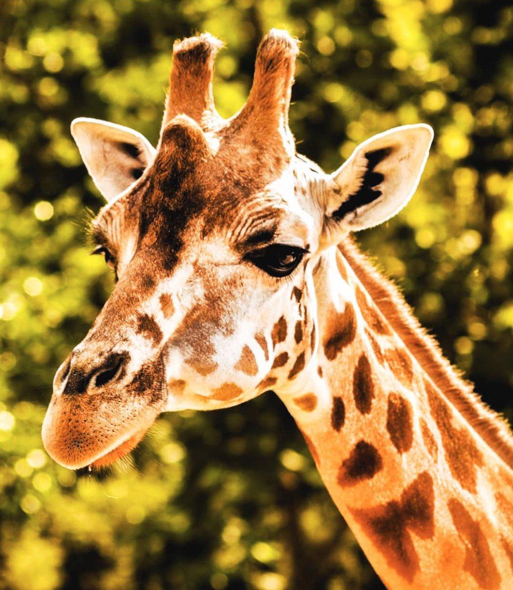 Прикольные жирафы картинки на русском