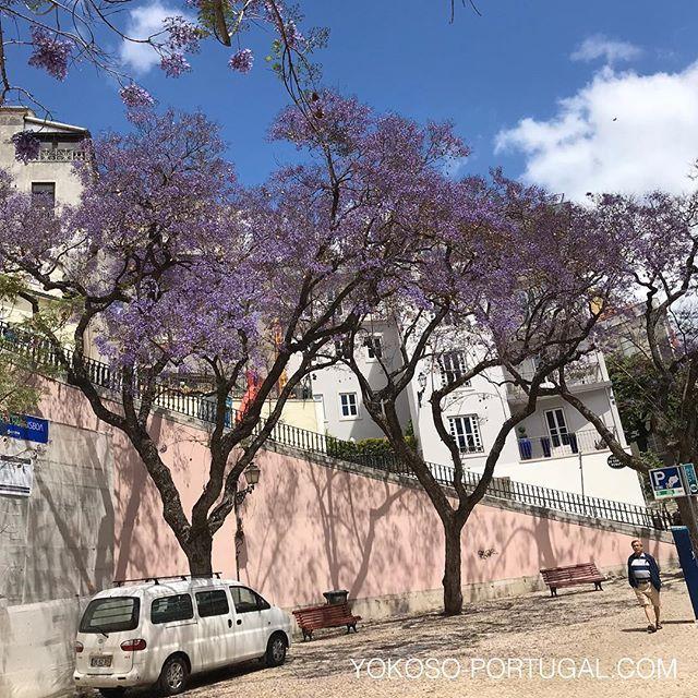 test ツイッターメディア - バイシャ地区から大聖堂に続く、サン・マメデ通りのジャカランダ。ここのジャカランダは坂を登って上から見ることもできます。 #ジャカランダ #リスボン #ポルトガル https://t.co/KwZKBEnWsn