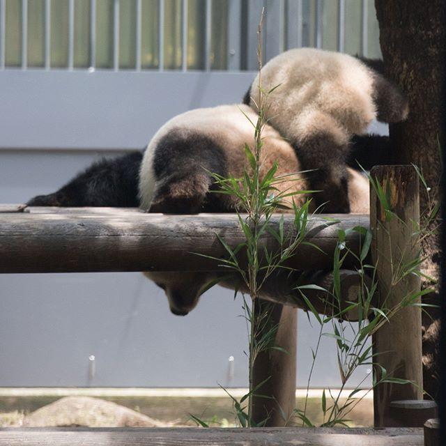 2018.06.07 #上野動物園 #パンダ #シャンシャン #uenozoo #giantpanda #panda #xiangxiang