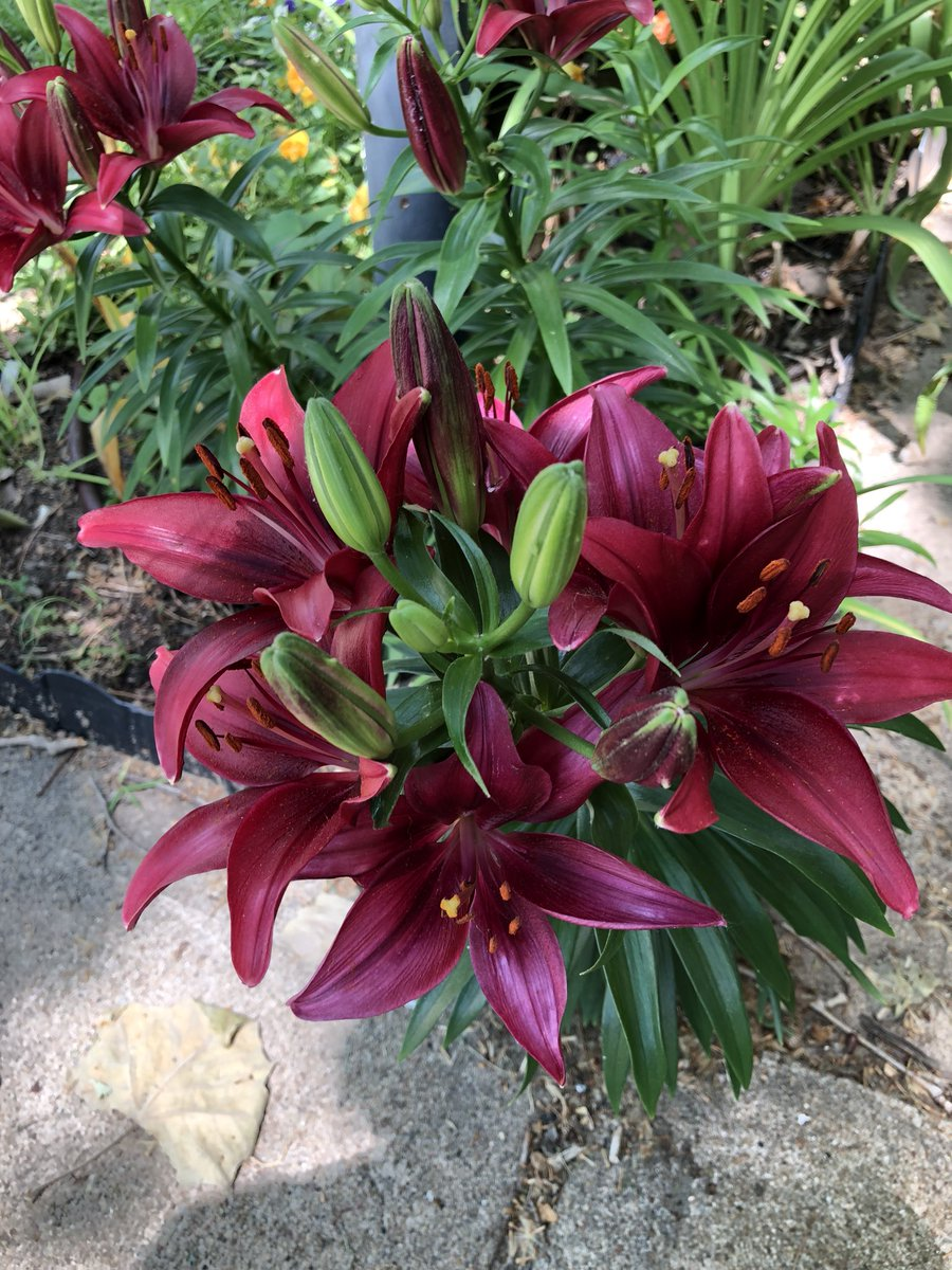 Loves2garden On Twitter Very Pretty I Love Lilies Oh Who Am I