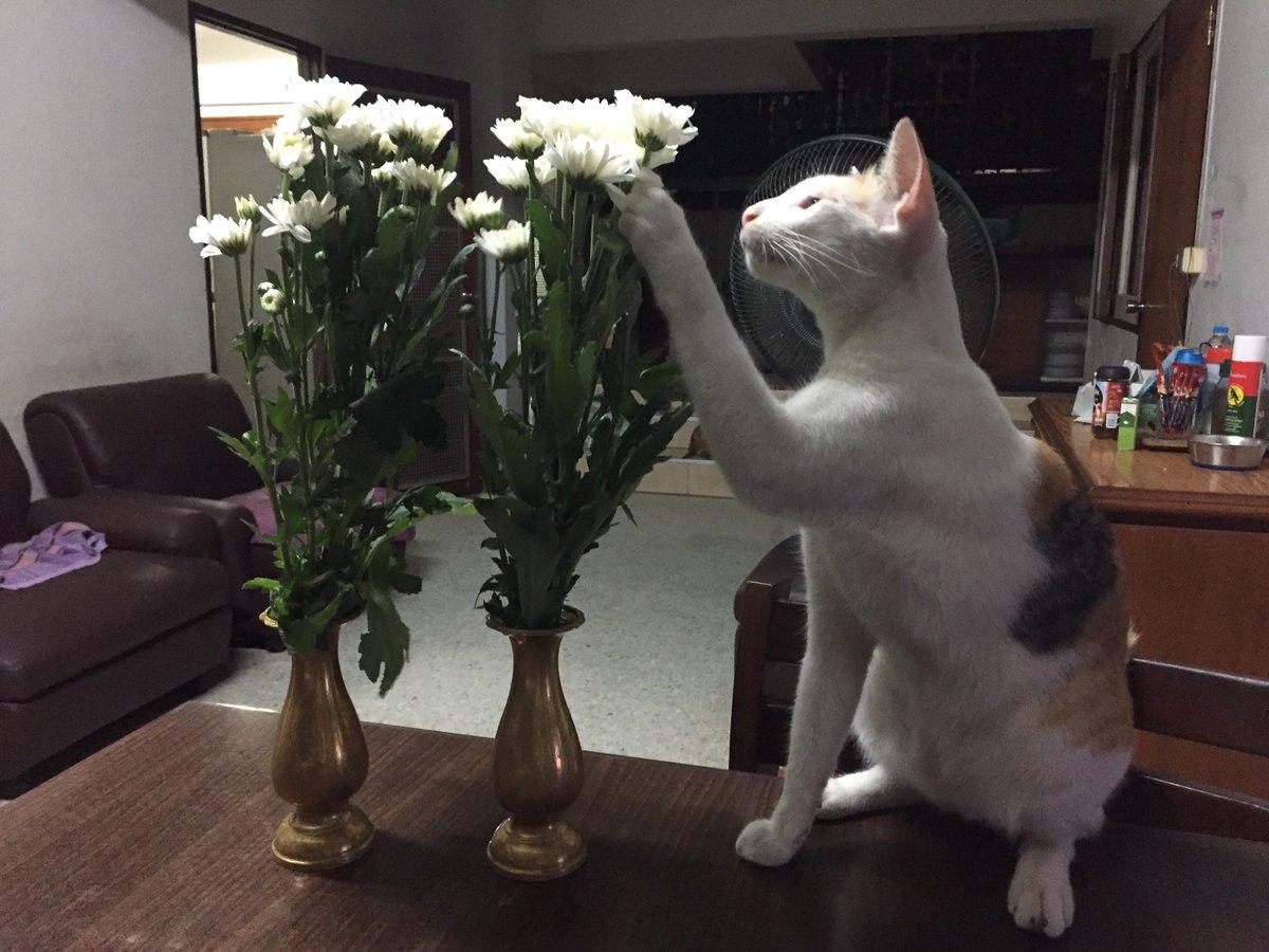 ช่วยจัดดอกไม้ค่ะ  🐅 #กะปอม #SmartCat #แมวน่ารัก 🌝