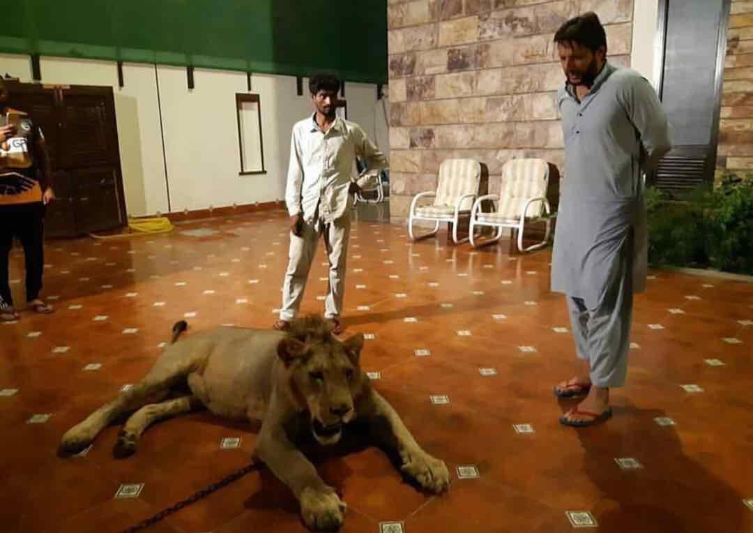 अफरीदी ने घर में पाला शेर?