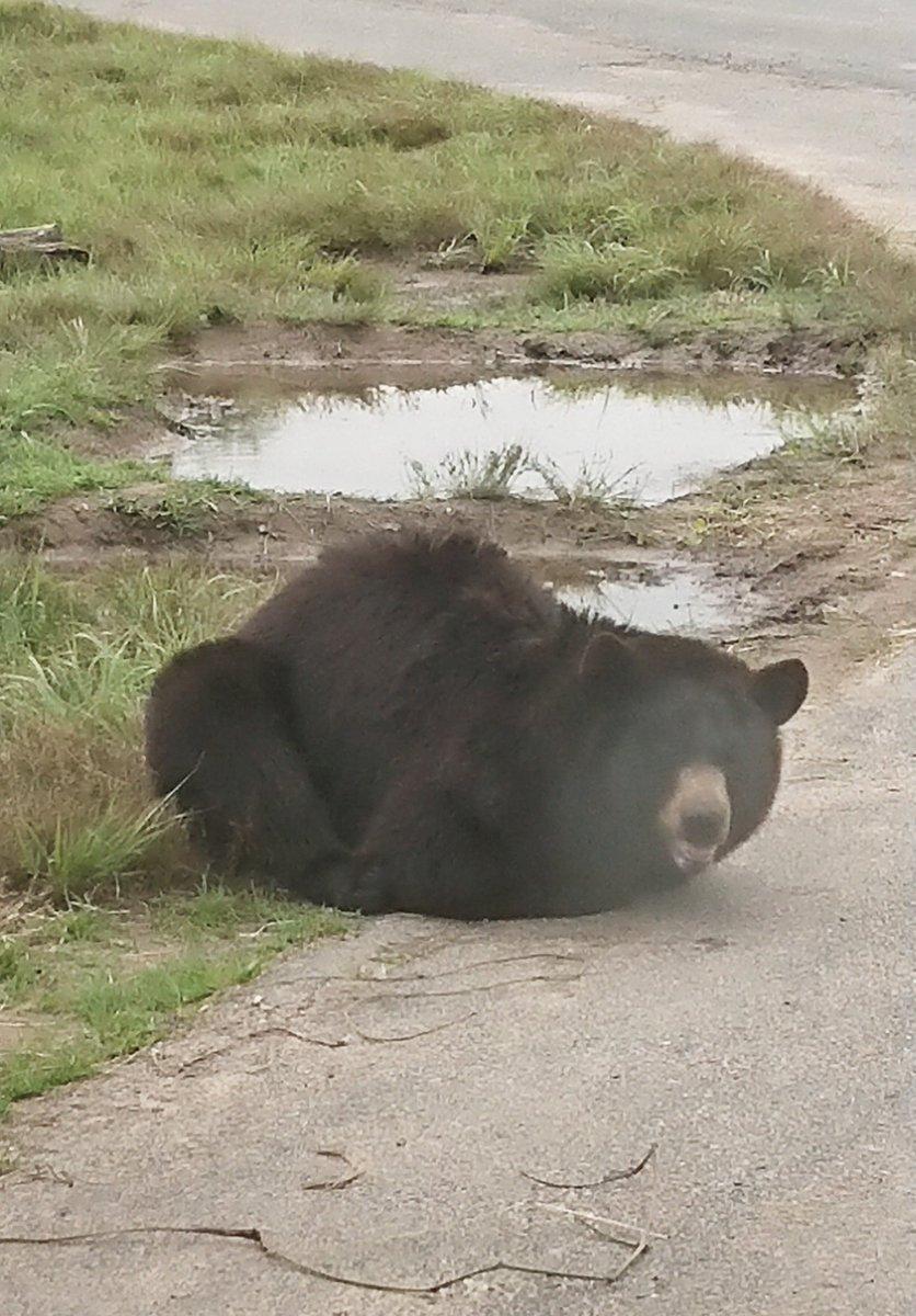 珍しいクマの香箱座り?です。未確認生物感がありますね
