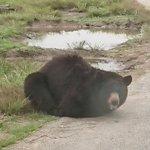 これが本当の熊猫?猫だけでなく熊も香箱座りをするらしい!