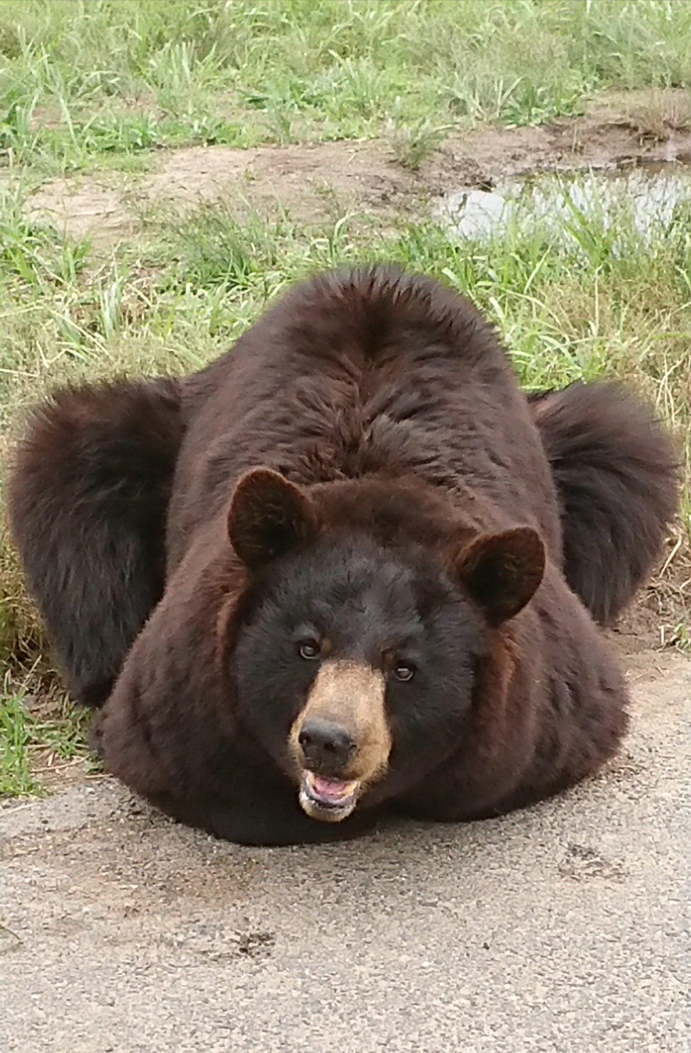 これが本当の熊猫?猫だけでなく熊も香箱座りをするらしいwww