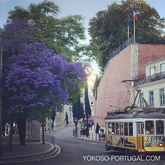 test ツイッターメディア - サントス広場の満開ジャカランダと路面電車25番。 #ジャカランダ #リスボン #ポルトガル https://t.co/OZcuboSHdj
