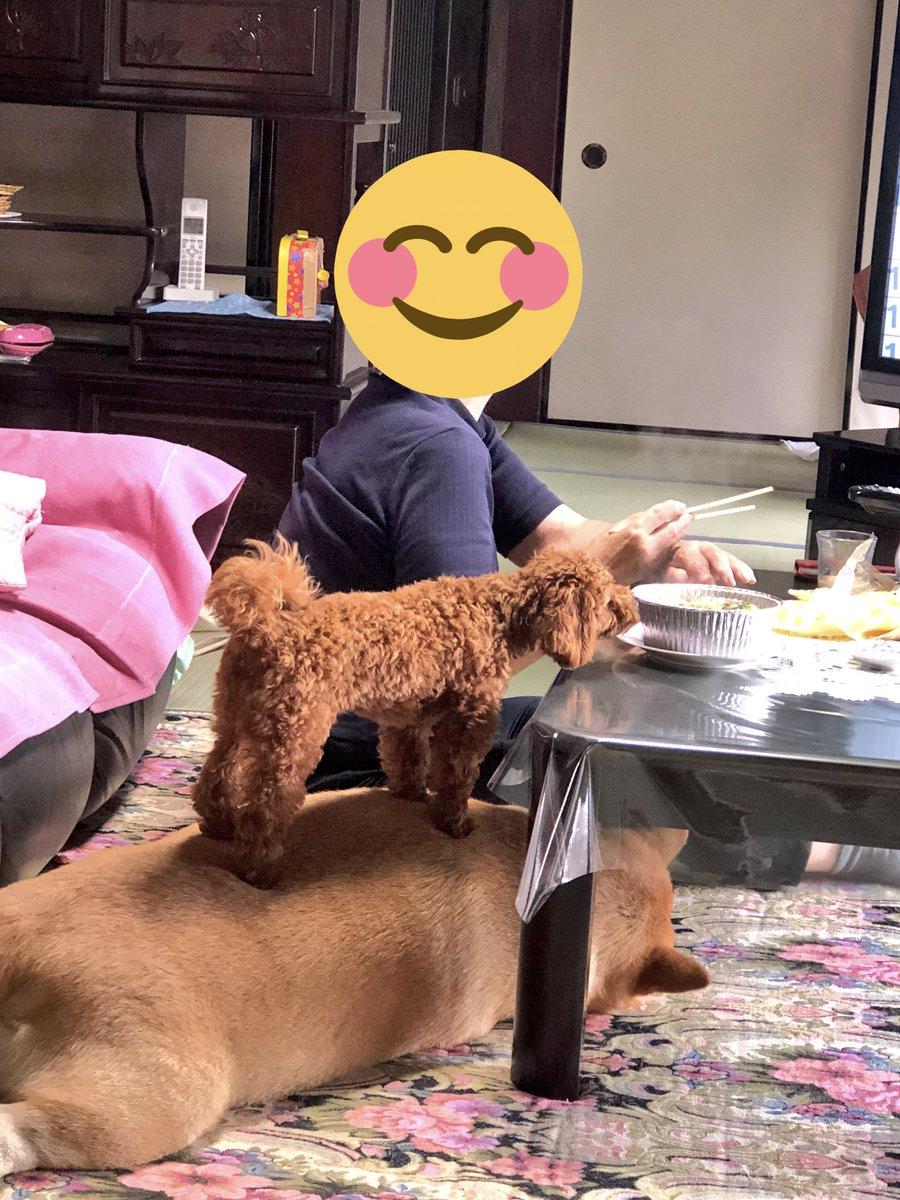 誰か…  うちのプードルちゃんに…下の台座変わりにしているのは君の先輩犬だと教えてあげてください……  台座にされたら怒っていいんだよ…??。゚(゚´ω`゚)゚。