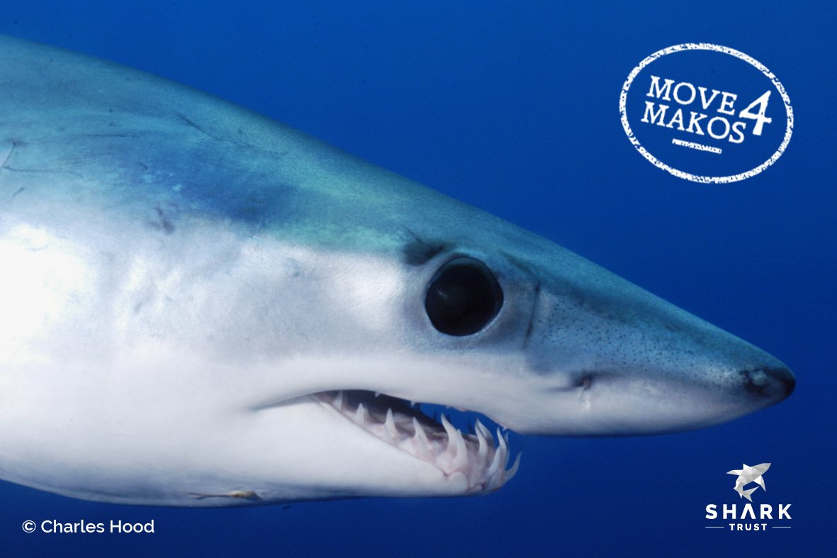 More protection is needed for Mako and for Blue Sharks! Please share #NoLimitsNoFuture