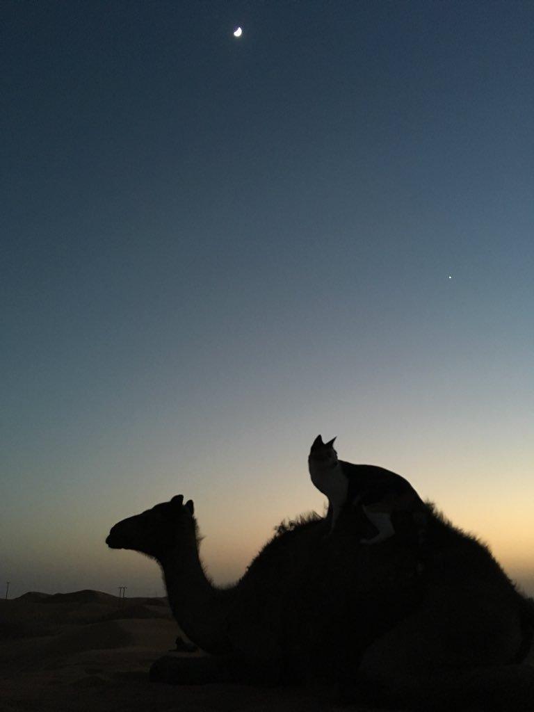 すぐにでも待ち受けにしたくなる!猫とラクダと三日月の写真が綺麗すぎw