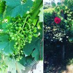 Back in the vineyards watching the Sangiovese grow....looking good!😉🍇🍷. #florenceandchiantitours #florencetour #chiantitour #visitflorence #winetour #florenceitaly #chianticlassico  #mompreneur #wineclub #winetasting #winelover #visittuscany #luxtour… https://t.co/fLV4oEcUbB