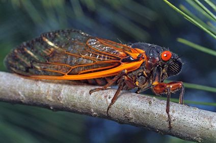 Cornell Department of Entomology added 4 new photos. Published by Amy Arsenault · Just now · John Kennedy sent these awesome pictures into the Dept of Entomology...Check out this cicada taken in syracuse/ onondaga