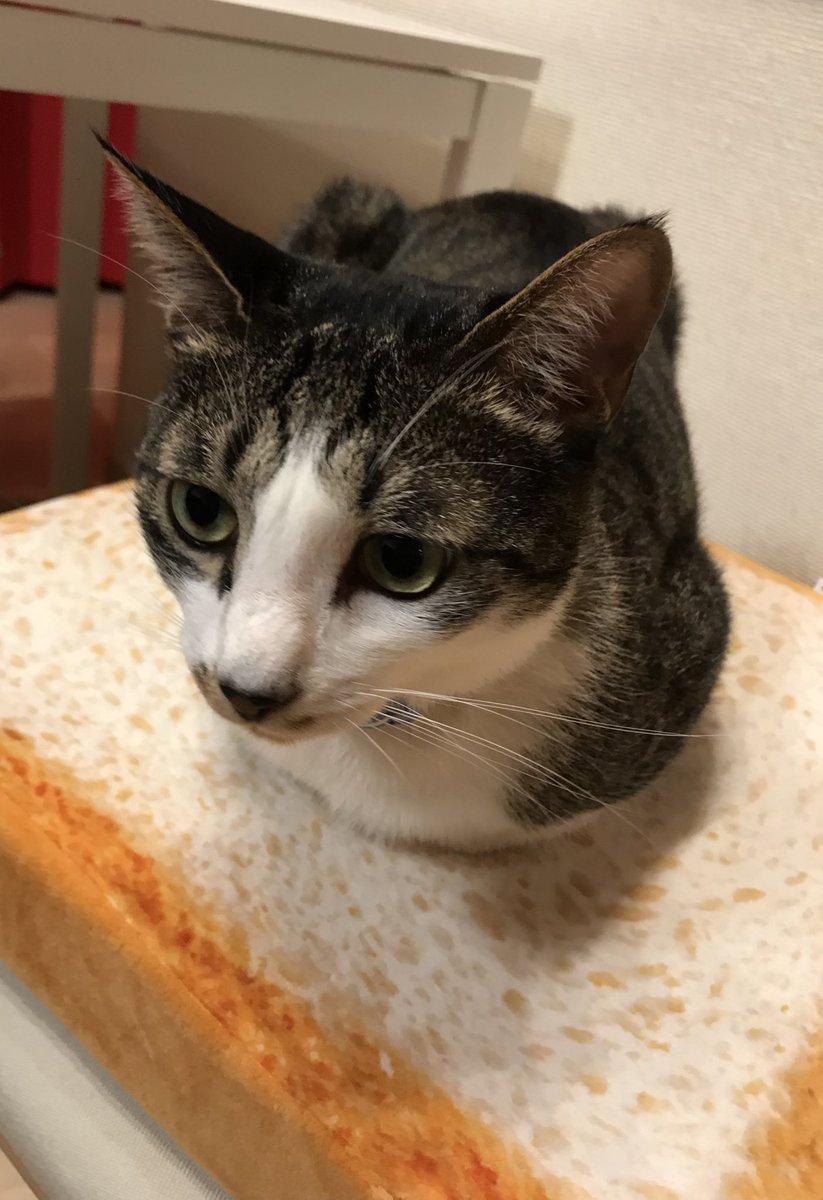 前足隠れるくらいの香箱座り。 猫あるある(*´ω`*)