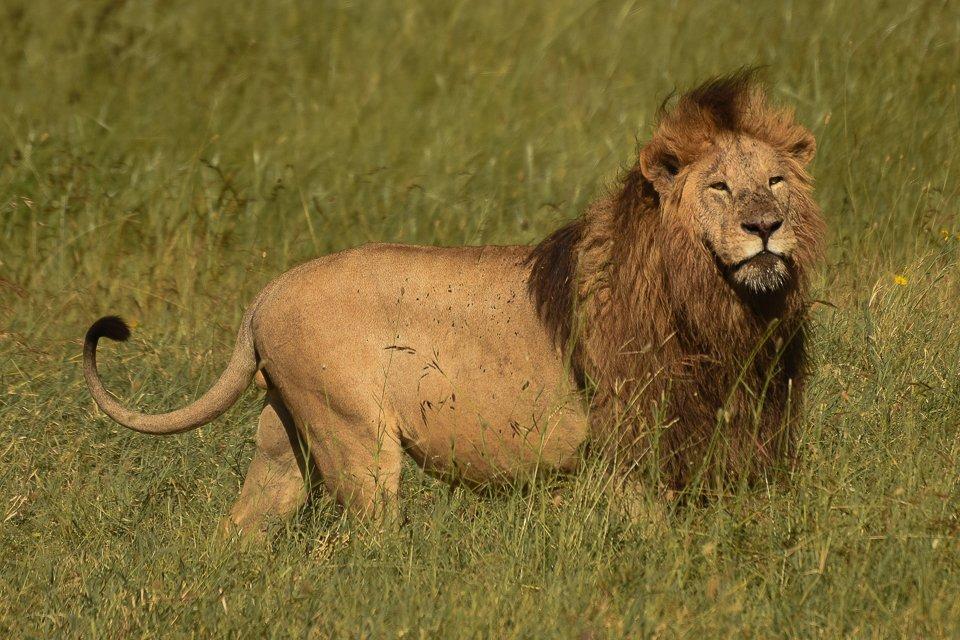 Housecat, Ngorongoro Crater. @HumanOriginsASU @ASUBeingHuman