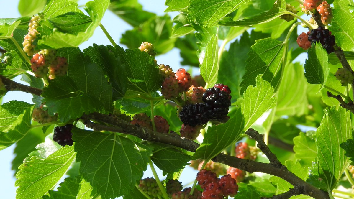 11a6e91ade The berries of Mulberry contain amazing health benefits including vitamins  A, B, C, and E. #wildlife #berries #Birdsoftwitterpic.twitter.com/d9ZMp9lFAU