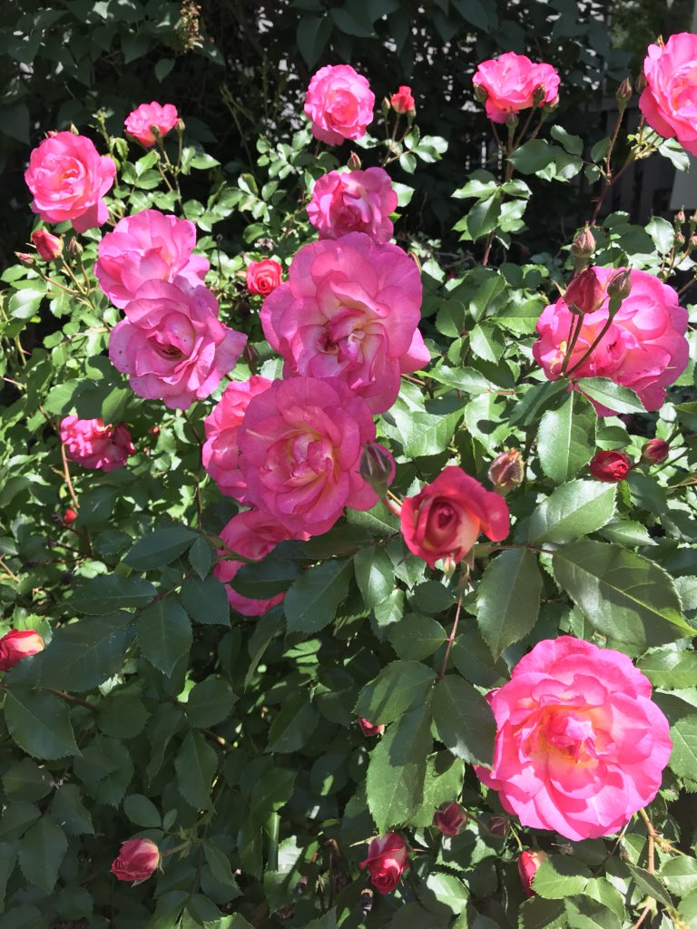Rose Bush Covered In Bright Pink Roses