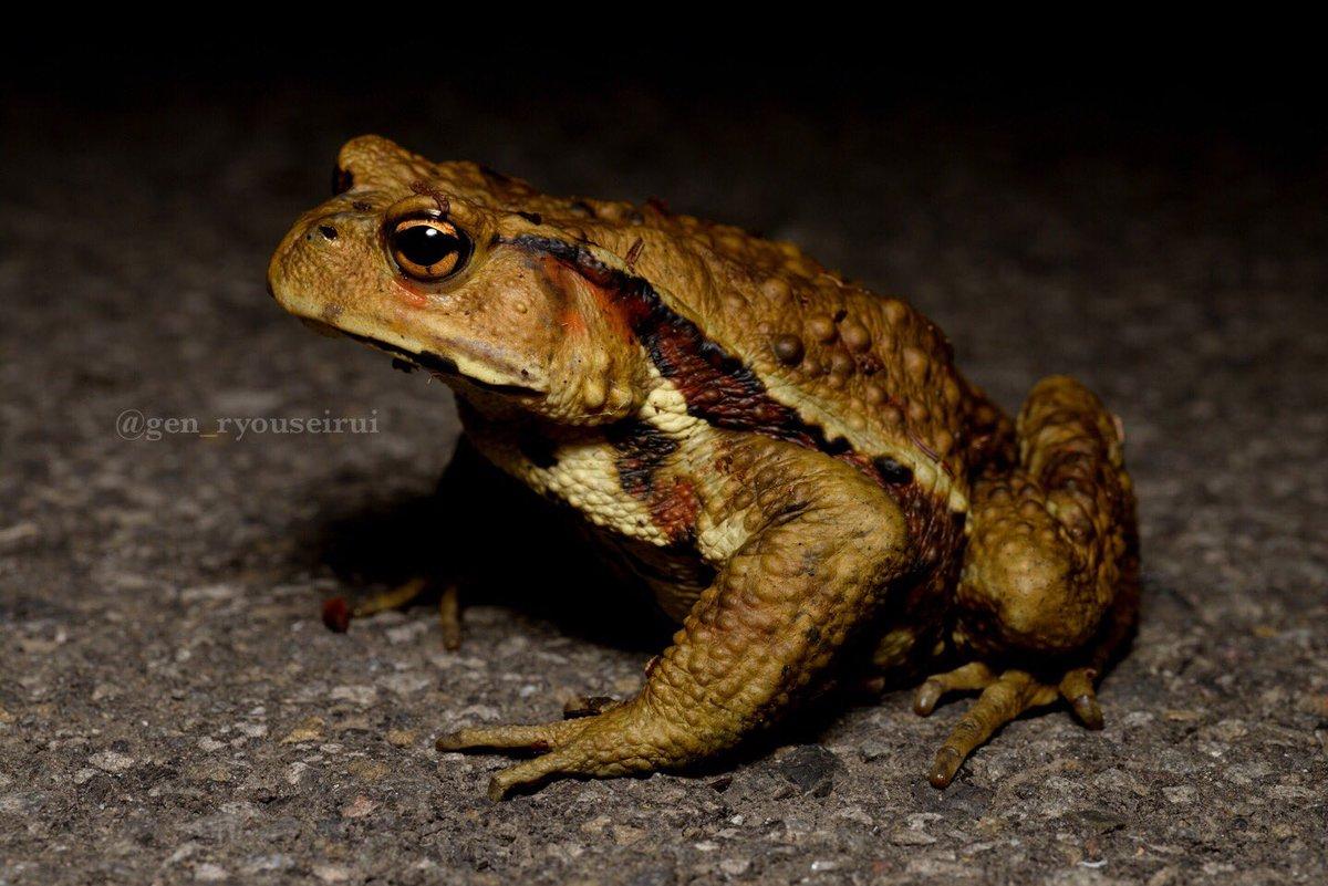 県道に現れたニホンヒキガエルの成体。四国にて。 頼むから車道には出てこないでくれ…