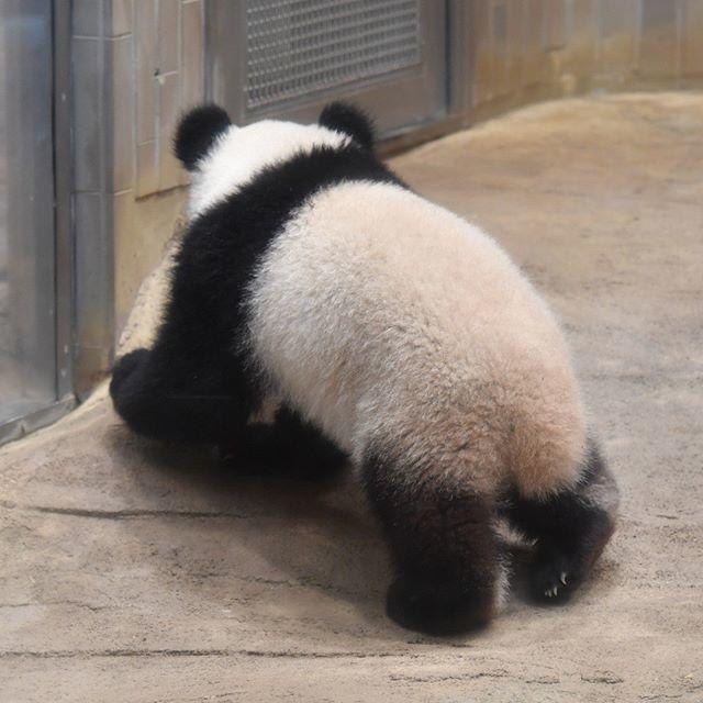 祝1歳 2018.06.12 #上野動物園 #パンダ #シャンシャン #uenozoo #giantpanda #panda #xiangxiang
