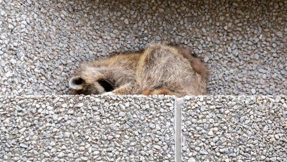 Follow the steep and scary journey of the #mprraccoon up St. Paul's UBS Tower... https://t.co/A6mU2IwYXS
