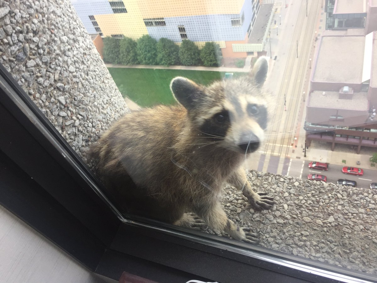 Image result for minnesota raccoon