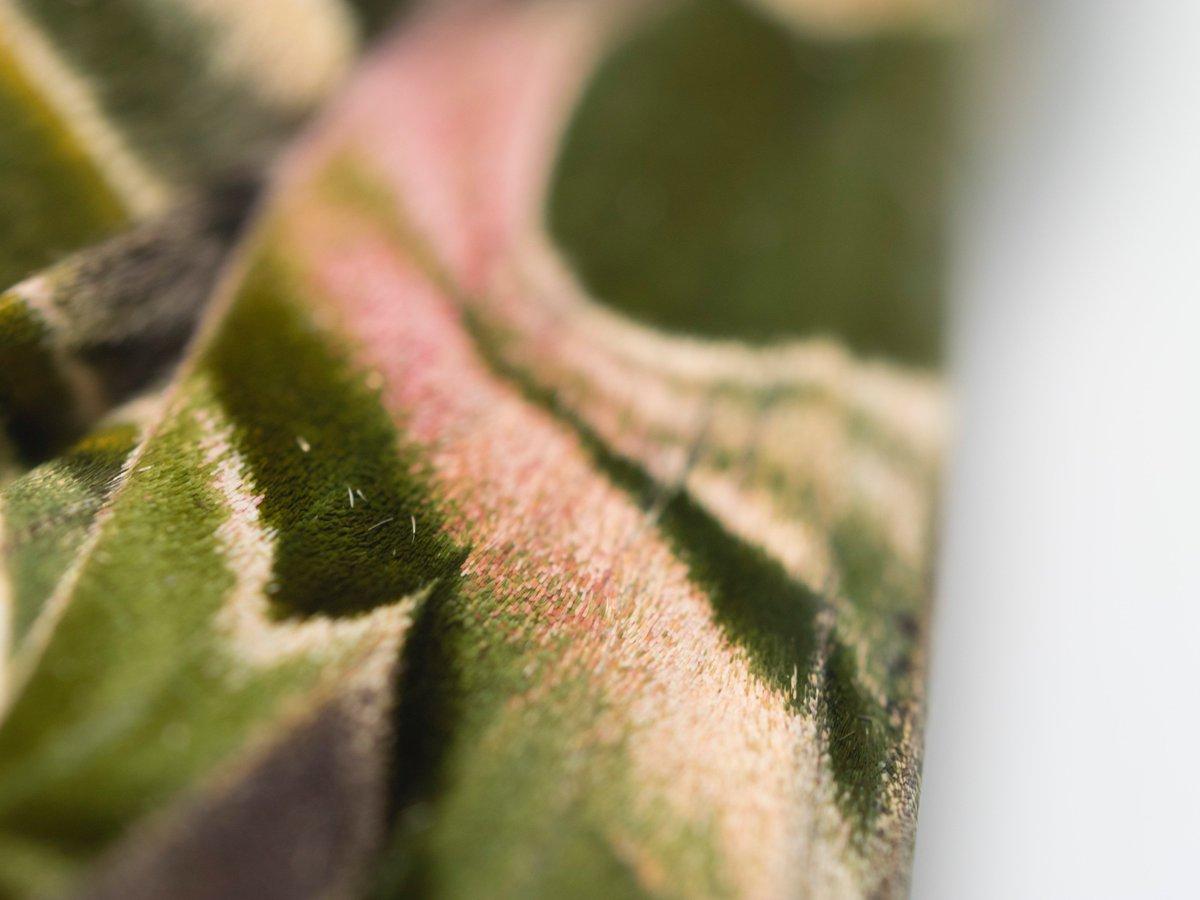 キョウチクトウスズメのこの素晴らしい質感をみてください。