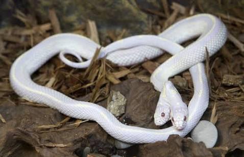 の ヘビ 双頭