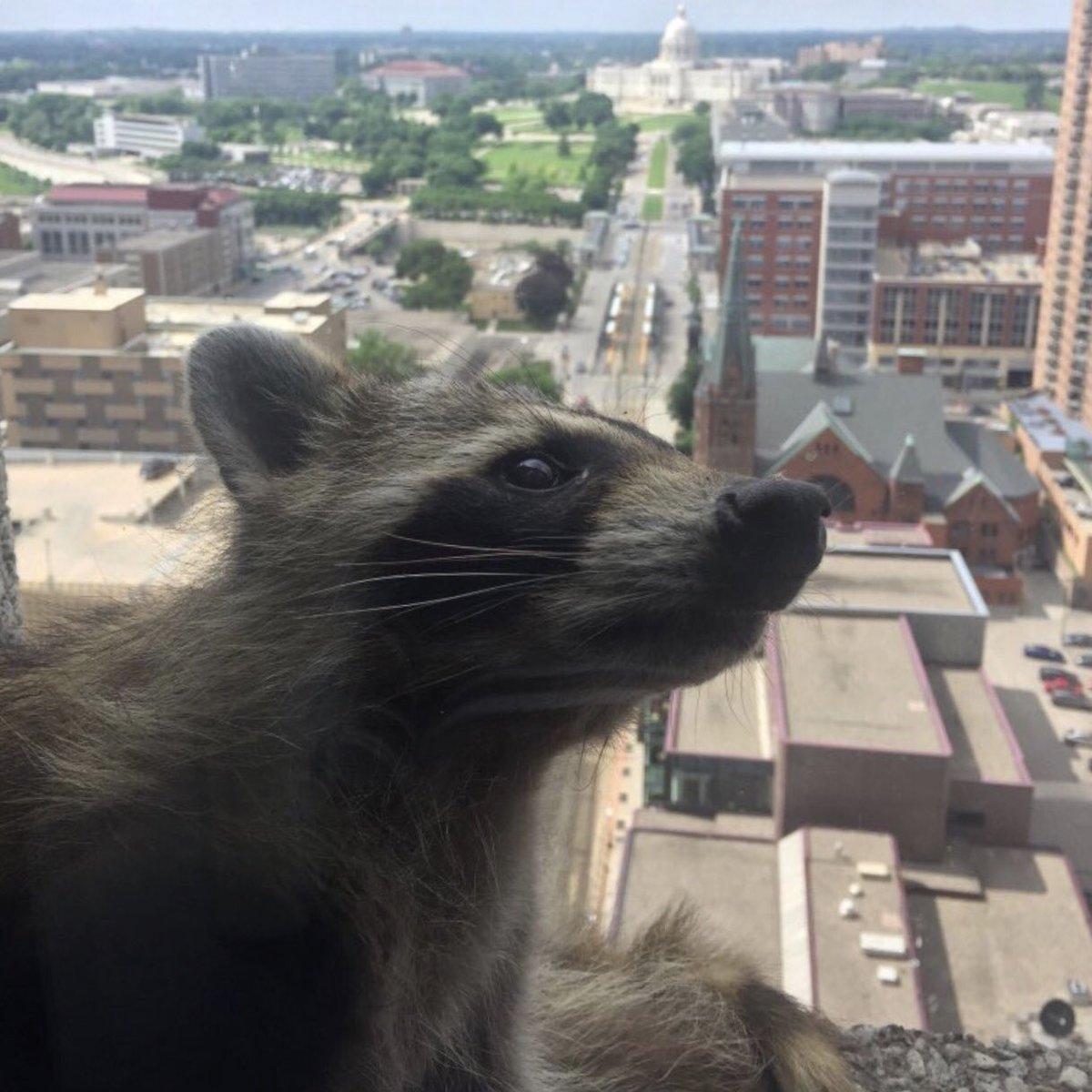 Andrew Pharis's photo on #mpraccoon