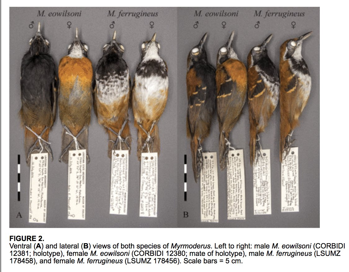 Did you know that theres a new species of Antbird? Read all about it in this open access #ornithology paper in the Auk: A new species of antbird (Passeriformes: Thamnophilidae) from the Cordillera Azul, San Martín, Peru bioone.org/doi/full/10.16…