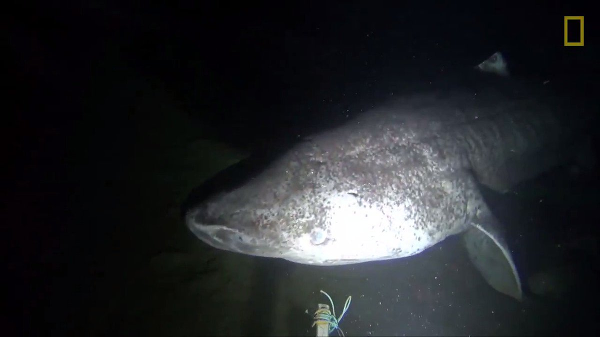 Greenland sharks are known to frequent the dark waters of the Arctic—but they're rarely caught on camera