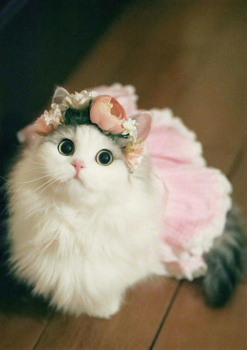 Cute Cats On Twitter Pretty Beauty Catsoftwitter Catsofinstagram Gorgeous Pretty Beautiful Cats Caturday Catholics Animallover Pets Stunning Dress Flowers Https T Co Jovnitcn4b