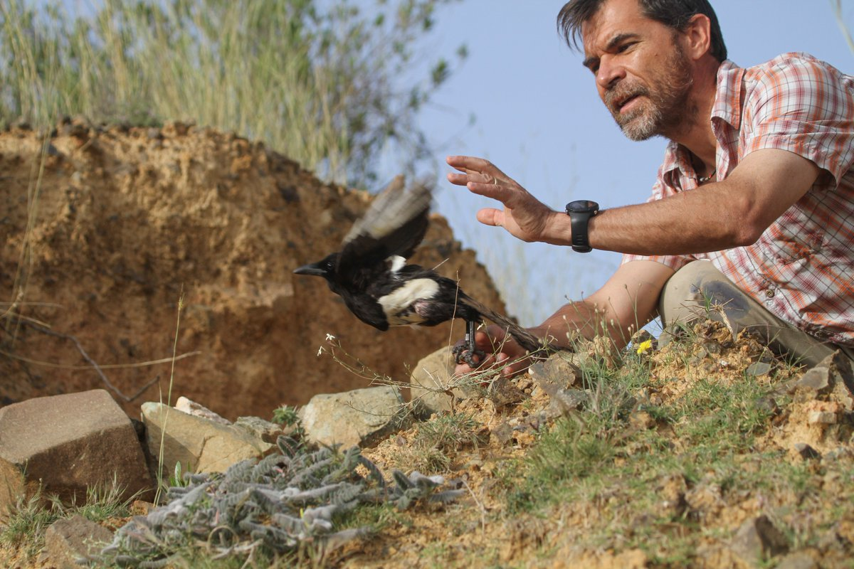 Success! #Smithsonian_MoL and #Aramco researchers have teamed up to successfully tag elusive Asir magpie in the Asir Mountains of Saudi Arabia. Excited to learn about the movements of this endangered species. @SMBC @Saudi_Aramco