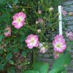 「ご近所のバラ🌹が綺麗だから、ウチのバラも後で写真撮ればいいや…」と思っていたら、ウチのバラ、殆ど終わっていた🥀。 かろうじて咲いていたのが、このミニバラ。 早咲きと遅咲きの差を実感しています。 #ハイポネックスバラ部 #ハイポネックス園芸部 #ハッピーローズボックス