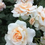 撮ったのはかなり前だけど気に入っている薔薇の写真(*´ー`*) #ハイポネックスバラ部 #ハイポネックス園芸部 #ハッピーローズボックス